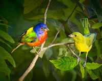 #9  Painted Bunting