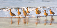 #5  Sandpipers at Sunrise