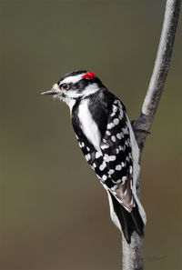 #21   Downy Woodpecker