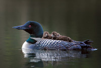 #16  Common Loon