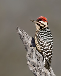 #9 Ladder-back Woodpecker
