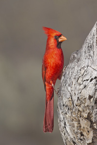 #7  Northern (Arizona) Cardinal