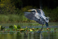 #3. Great Blue Heron