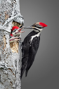 #5 Pileated Woodpecker