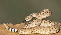 #11 Diamond-backed Rattler