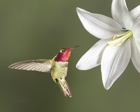 #8  Anna's Hummingbird on Lilly