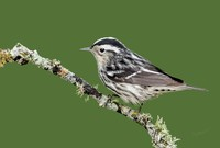 #6 Black-and-White Warbler Male