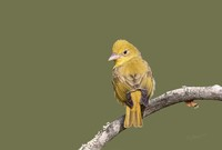 #10 Summer Tanager Female