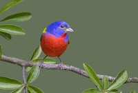 #14 Painted Bunting Male