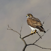 #15 Swainson's Hawk, adult