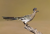 #14 Greater Roadrunner