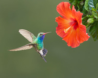 #1 Broadbilled Male Hummingbird
