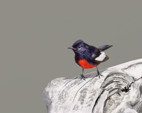 #3 Painted Redstart