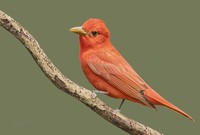 #12 Summer Tanager, Male