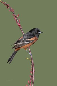 #11 Orchard Oriole, Male